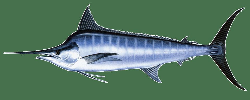Fishing 5 MAKAIRA INDICATA blackmarlin 0