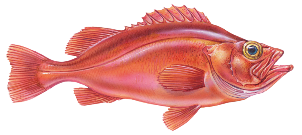 sport fishing cartagena redsnapper 1024x460 1
